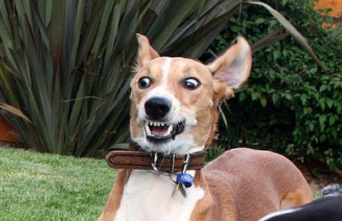 apavorado cão