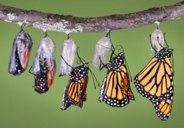 casulo-de-borboleta